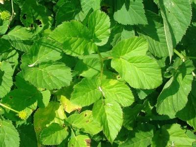 Aegopodium podagraria L. [Famille : Apiaceae]