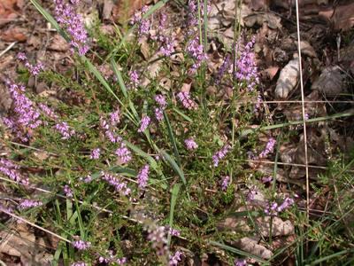 Calluna vulgaris (L.) Hull [Famille : Ericaceae]