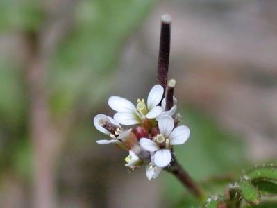 Cardamine hirsuta L. [Famille : Brassicaceae]