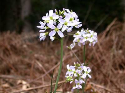 Cardamine pratensis L. [Famille : Brassicaceae]