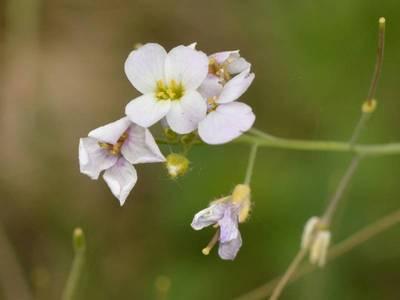 Cardaminopsis arenosa (L.) Hayek [Famille : Brassicaceae]