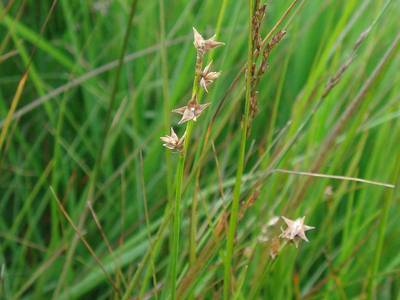 Carex echinata Murray [Famille : Cyperaceae]