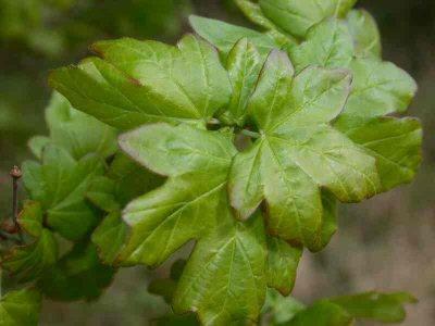 Acer campestre L. [Famille : Aceraceae]