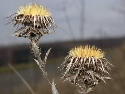 Carlina vulgaris L. [Famille : Asteraceae]