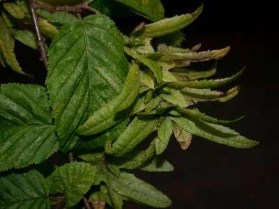 Carpinus betulus L. [Famille : Corylaceae]