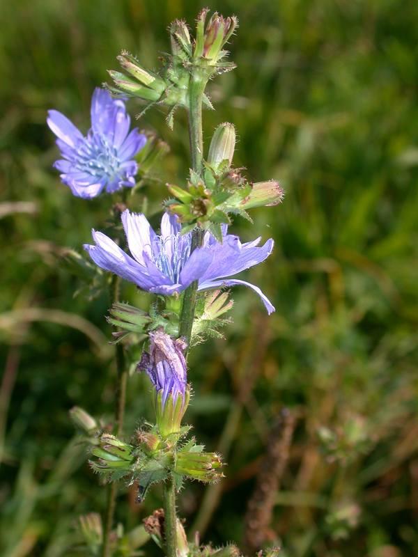 Cichorium intybus L. [Famille : Asteraceae]