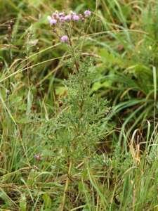 Cirsium arvense (L.) Scop. [Famille : Asteraceae]