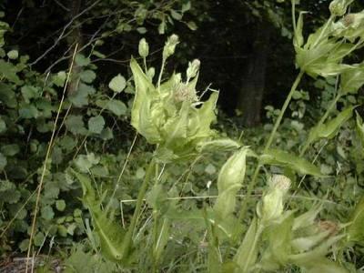 Cirsium oleraceum (L.) Scop. [Famille : Asteraceae]
