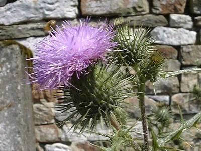 Cirsium vulgare (Savi) Ten. [Famille : Asteraceae]