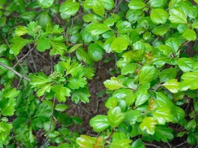 Crataegus laevigata (Poir.) DC. [Famille : Rosaceae]