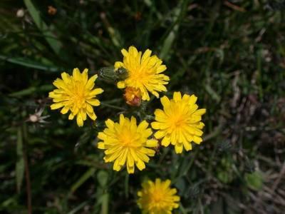 Crepis capillaris (L.) Wallr. [Famille : Asteraceae]