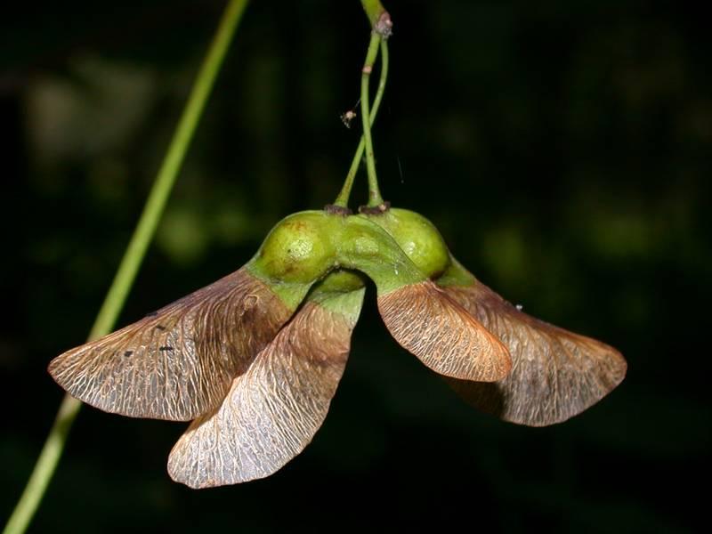 Acer pseudoplatanus L. [Famille : Aceraceae]