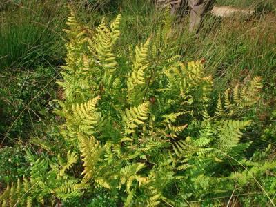 Dryopteris carthusiana (Vill.) H.P.Fuchs [Famille : Dryopteridaceae]