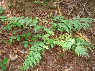 Dryopteris dilatata (Hoffm.) A.Gray [Famille : Dryopteridaceae]