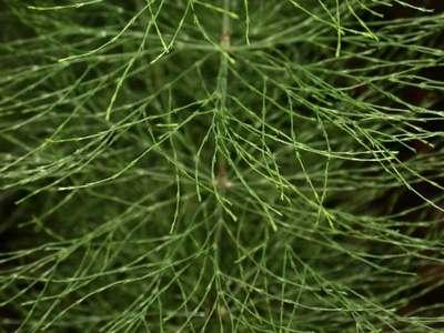 Equisetum sylvaticum L. [Famille : Equisetaceae]