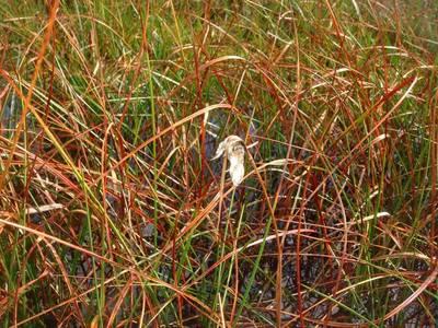 Eriophorum angustifolium Honck. [Famille : Cyperaceae]