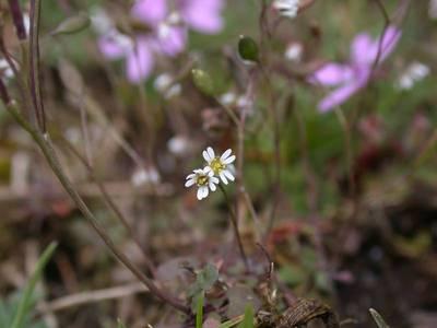 Erophila verna (L.) Chevall. [Famille : Brassicaceae]