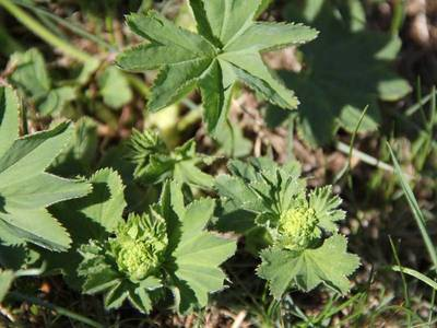 Alchemilla xanthochlora Rothm. [Famille : Rosaceae]