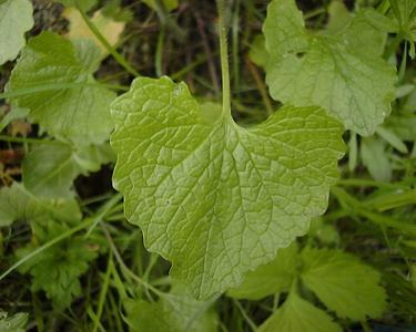 Alliaria petiolata (M.Bieb.) Cavara & Grande [Famille : Brassicaceae]