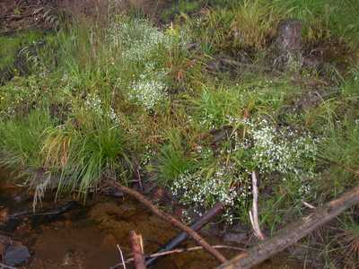 Galium saxatile L. [Famille : Rubiaceae]