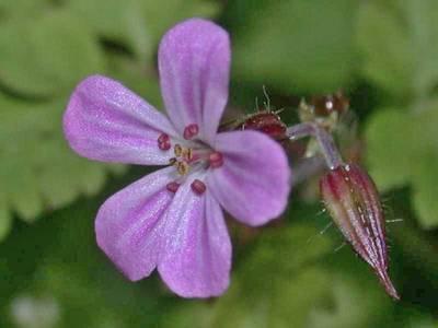 Geranium robertianum L. [Famille : Geraniaceae]