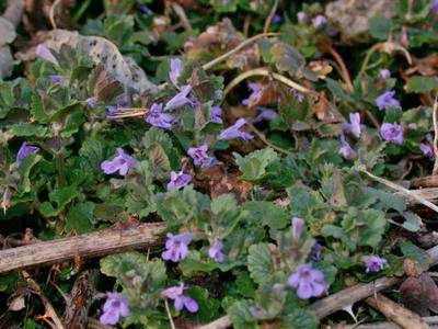 Glechoma hederacea L. [Famille : Lamiaceae]