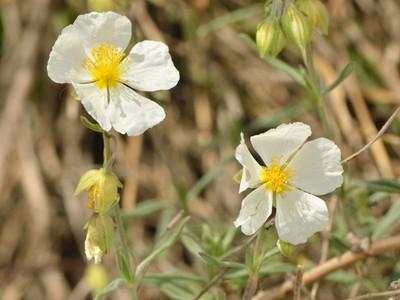 Helianthemum apenninum (L.) Mill. [Famille : Cistaceae]