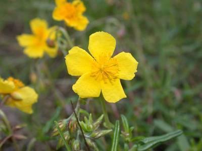 Helianthemum nummularium (L.) Mill. [Famille : Cistaceae]