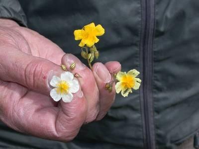 Helianthemum x sulphureum Willd. ex Schltr. [Famille : Cistaceae]