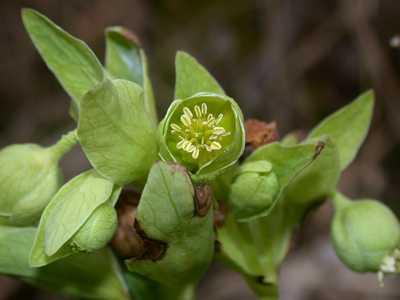 Helleborus foetidus L. [Famille : Ranunculaceae]