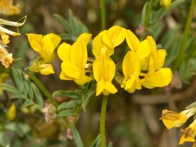 Hippocrepis comosa L. [Famille : Fabaceae]