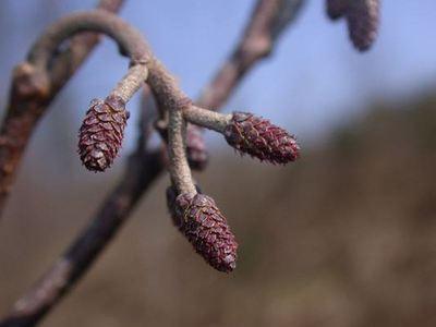 Alnus glutinosa (L.) Gaertn. [Famille : Betulaceae]