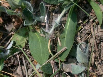 Hieracium pilosella L. [Famille : Asteraceae]