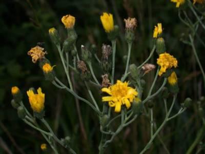 Hieracium sabaudum L. [Famille : Asteraceae]