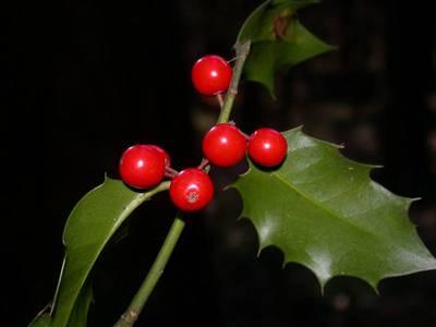 Ilex aquifolium L. [Famille : Aquifoliaceae]