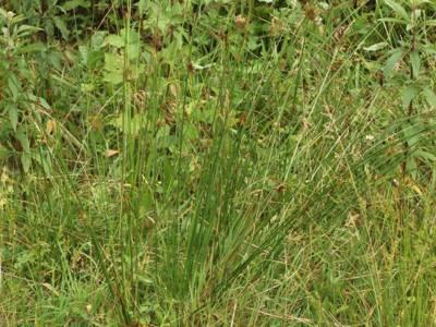 Juncus effusus L. [Famille : Juncaceae]