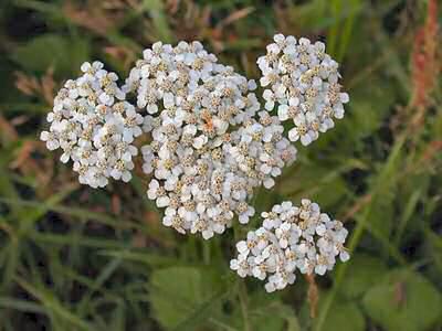 Achillea millefolium L. [Famille : Asteraceae]