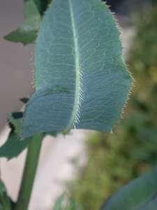 Lactuca serriola L. [Famille : Asteraceae]