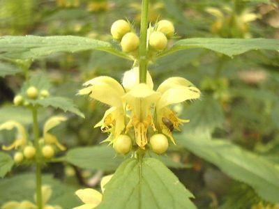 Lamium galeobdolon (L.) L. [Famille : Lamiaceae]