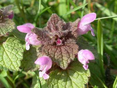 Lamium purpureum L. [Famille : Lamiaceae]