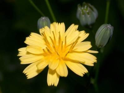 Lapsana communis L. [Famille : Asteraceae]