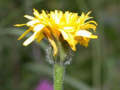 Leontodon hispidus L. subsp. hispidus [Famille : Asteraceae]