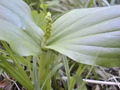 Listera ovata (L.) R.Br. [Famille : Orchidaceae]