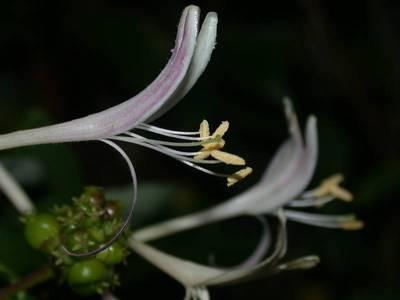 Lonicera periclymenum L. [Famille : Caprifoliaceae]