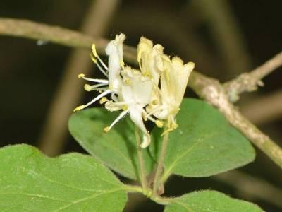 Lonicera xylosteum L. [Famille : Caprifoliaceae]