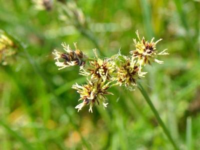 Luzula campestris (L.) DC. [Famille : Juncaceae]