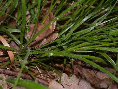 Luzula luzuloides (Lam.) Dandy & Wilmott [Famille : Juncaceae]