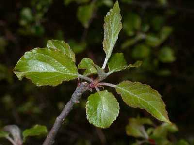 Malus sylvestris Mill. [Famille : Rosaceae]