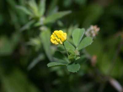 Medicago lupulina L. [Famille : Fabaceae]