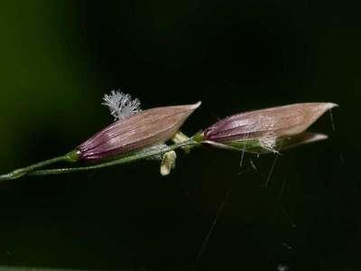 Melica uniflora Retz. [Famille : Poaceae]